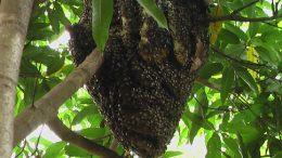SEAP realiza retirada de abelhas italianas no Caípe de Cima