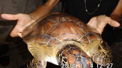Secretaria de Meio Ambiente realizou a soltura de um filhote de tartaruga marinha