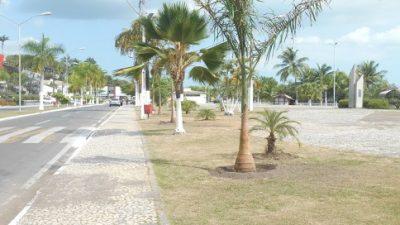 Palmeiras localizadas na orla marítima estão sendo substituídas pela SEMA