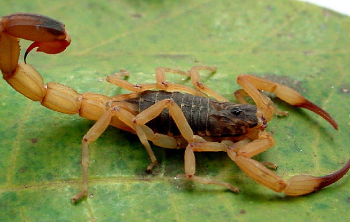 Secretaria da Saúde orienta sobre prevenção a escorpiões